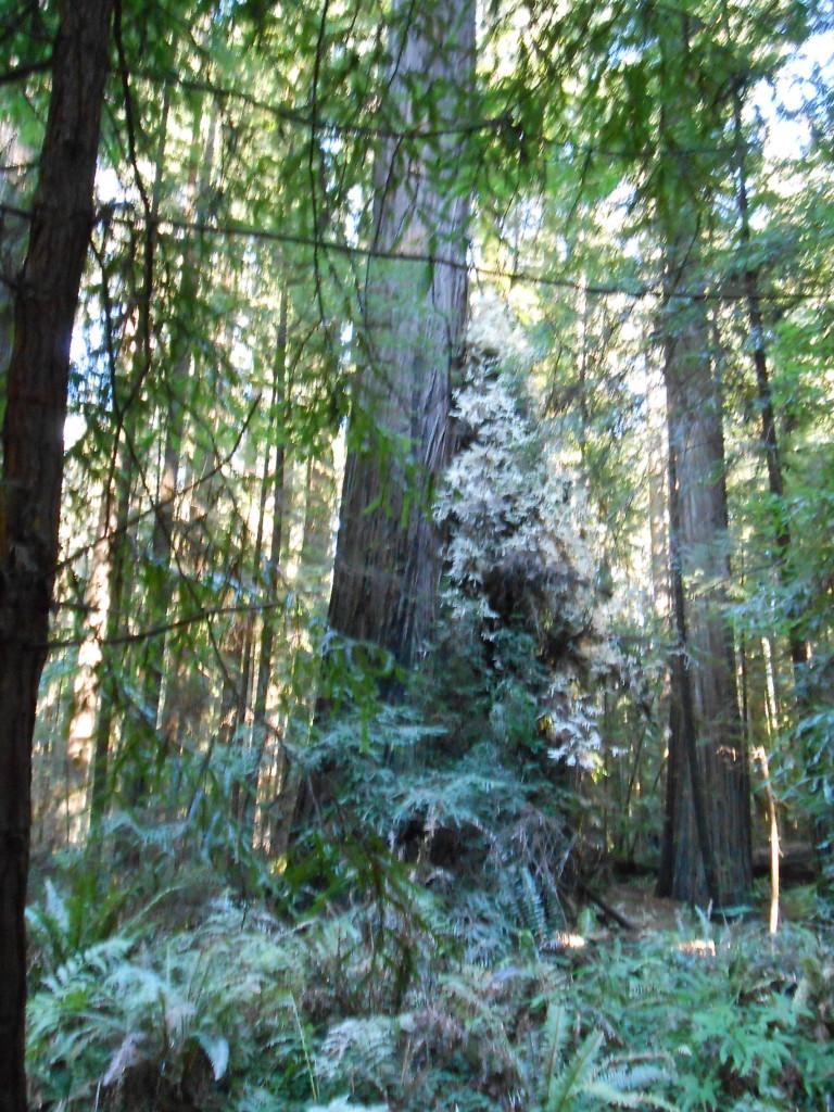 Albino Redwood
